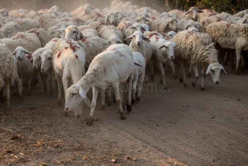 Стадо овец вытаращиться стоковое фото