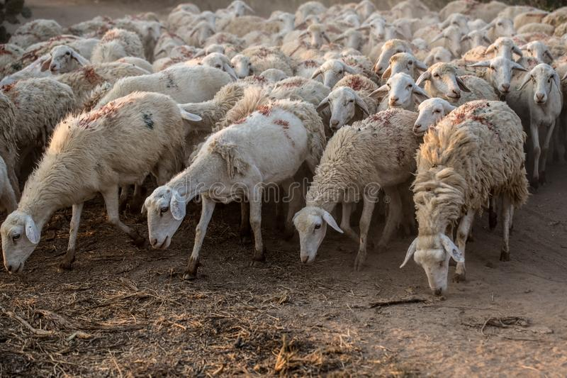 Стадо овец вытаращиться стоковые фото