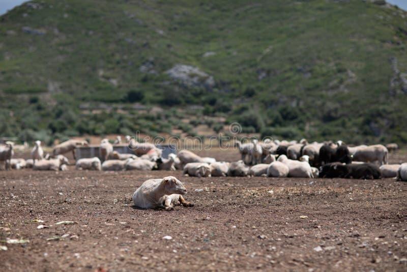 Стадо овец в поле стоковое фото rf