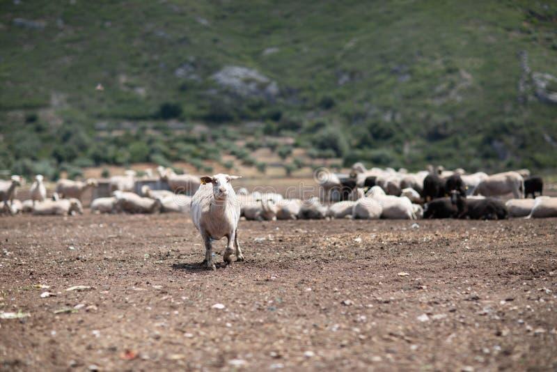 Стадо овец в поле стоковая фотография rf
