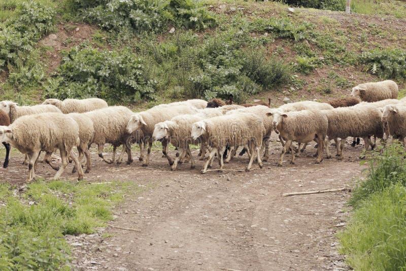 Стадо овец двигая дальше выгон весны стоковые изображения rf