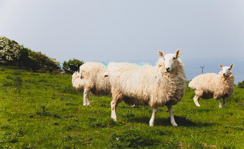 Стадо овец держало биологически в луге в сельской местности Зеленые поля в горах с пасти овец и голубого неба Он стоковое фото