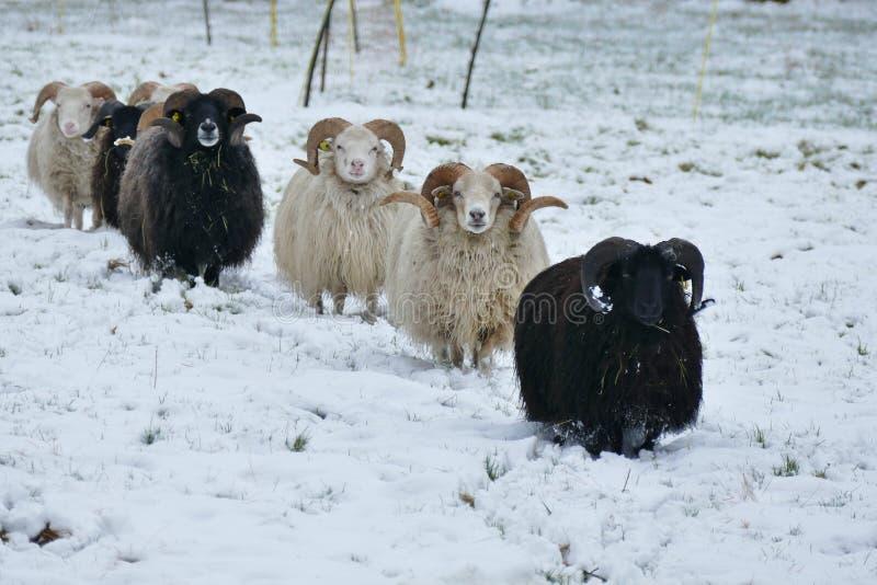 Стадо овец на камере снежной земли причаливая стоковое изображение