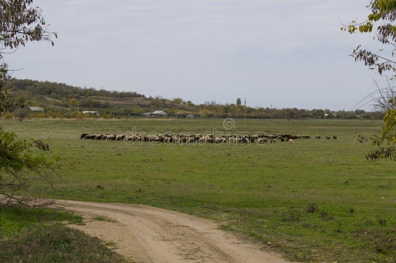 Стадо овец на красивом луге горы стоковые изображения