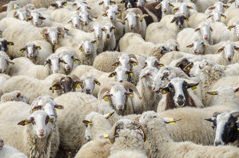 Стадо овец стоковое изображение