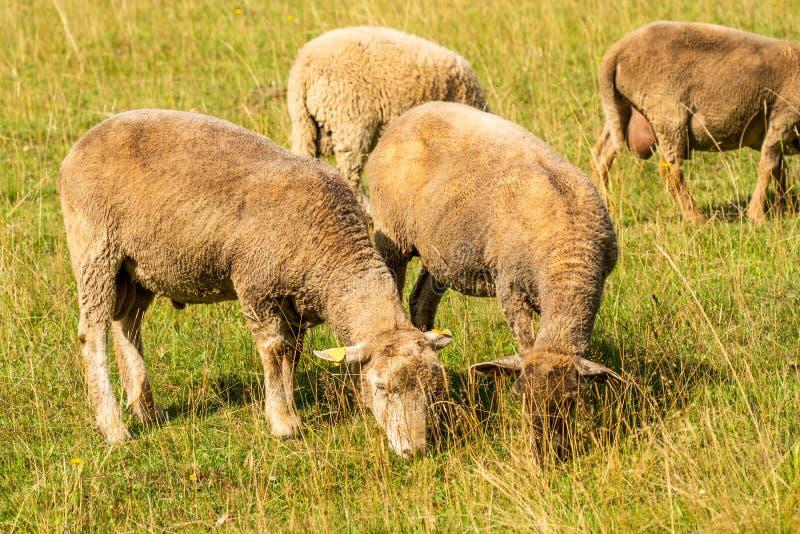 Стадо овец стоковое фото rf