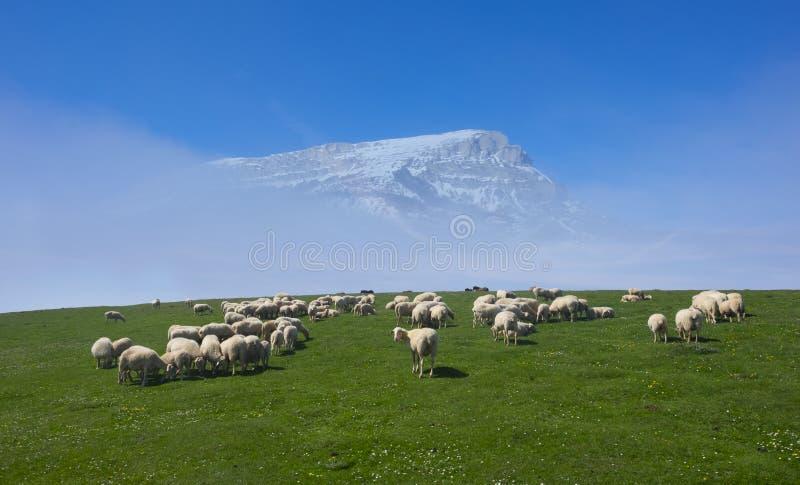 Стадо овец пася в луге с снежной горой стоковые фото