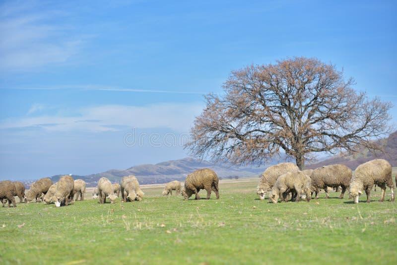 Стадо овец пася на красивом луге горы стоковые фотографии rf