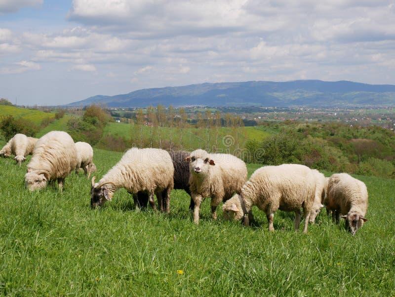 Стадо овец пася на лужке стоковая фотография rf