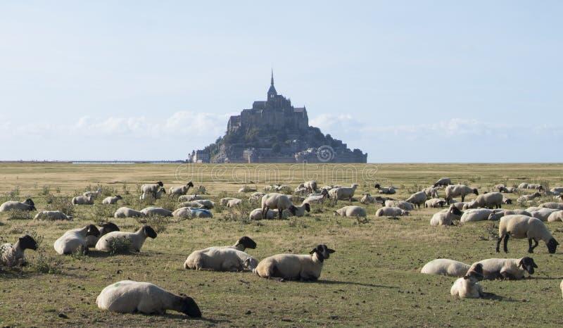 Стадо овец перед аббатством Мишеля Святого Mont святой Нормандии mont Франции michel стоковые фотографии rf
