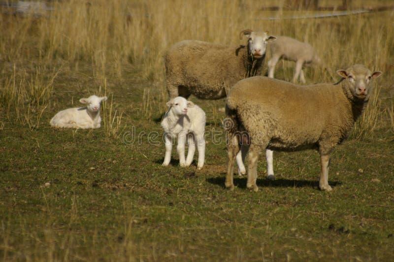 Стадо овец с их овечками в поле на ферме во время особенно сухого сезона засухи стоковые изображения rf