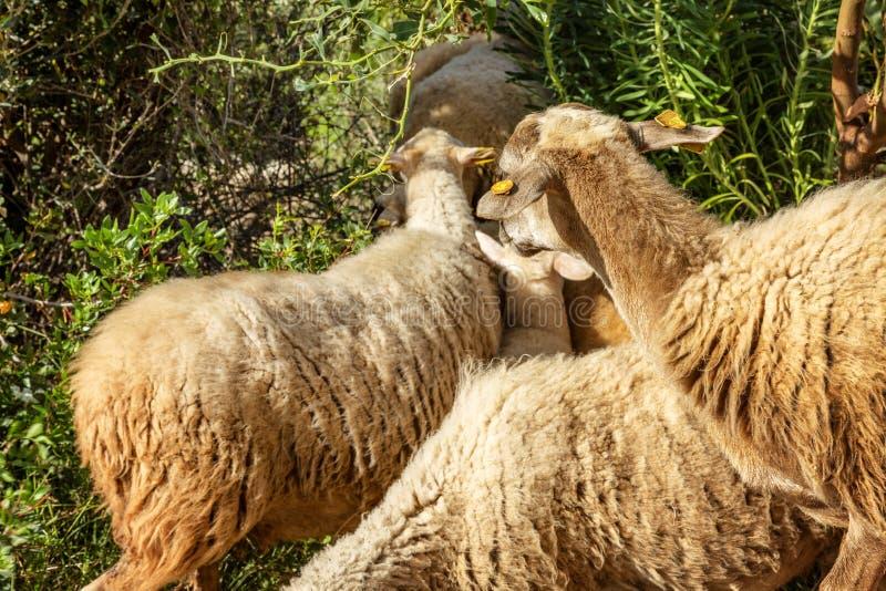 Стадо овец с обломоками на их ушах стоковое изображение