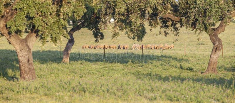 Стадо овец merina пася свободно на dehesa Extremaduran, Spai стоковая фотография rf