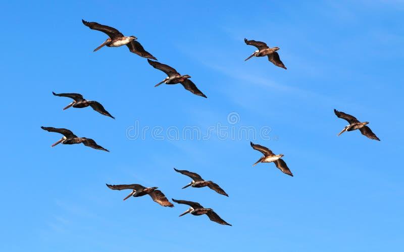 Стадо пеликанов в геометрическом заказе на предпосылке яркого голубого неба стоковые изображения rf