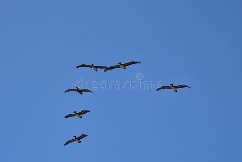 Стадо пеликанов в полете стоковые фотографии rf