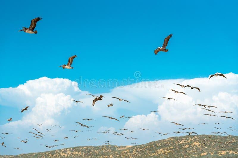 Стадо пеликанов летая над холмами, красивая пасмурная предпосылка голубого неба стоковые изображения rf