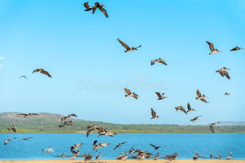 Стадо пеликанов на пляже, ясной предпосылке голубого неба Большая группа в составе птицы, животные в диком стоковые изображения rf