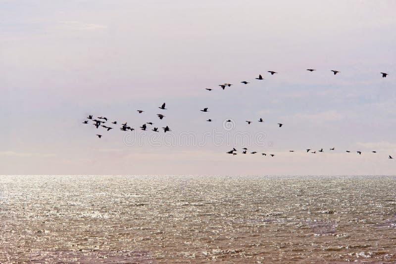 Стадо птиц, бакланов стоковое фото