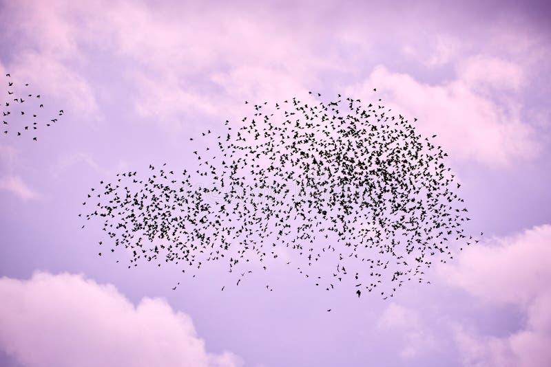 Стадо птиц в небе сирени стоковое изображение rf