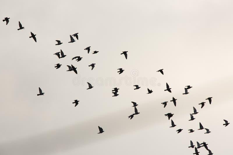 Стадо птиц летая в небо стоковое изображение