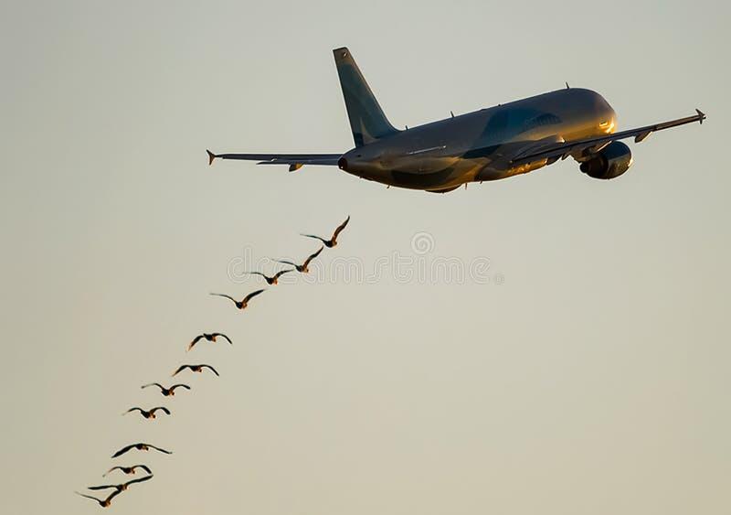 Стадо птиц летая после самолета стоковые изображения rf
