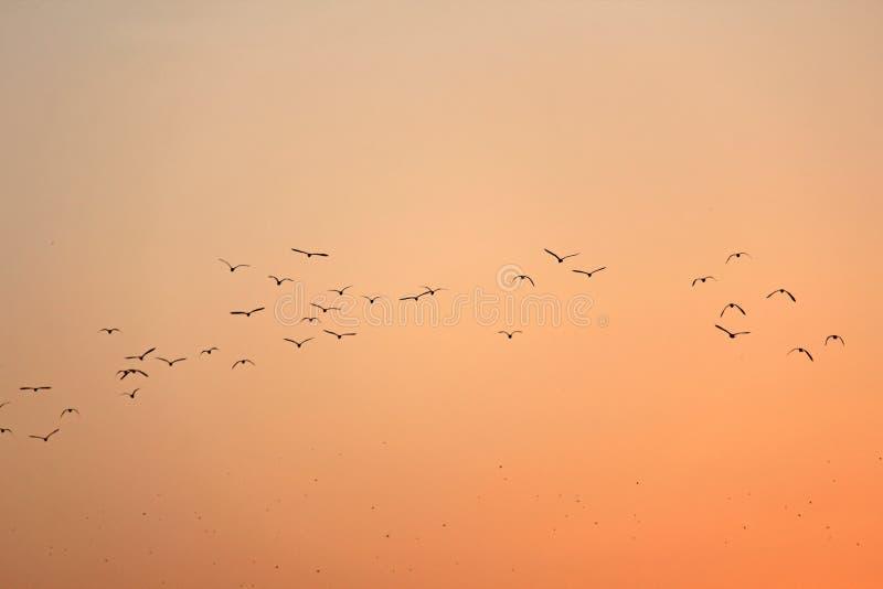 Стадо птиц silhouetted против захода солнца На оранжевом ба стоковые фотографии rf