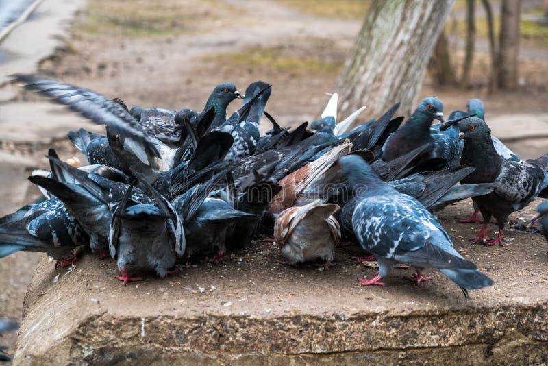 Стадо сине-серых голубей ест зерно на каменном постаменте в парке горо стоковое фото