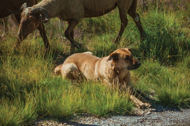 Стадо собаки наблюдая коз пася на sward стоковая фотография