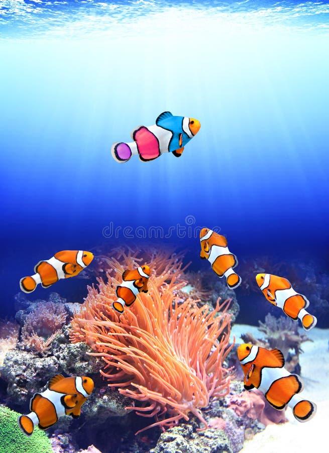 Стадо стандартных clownfish и одной красочной рыбы стоковое изображение rf