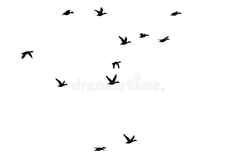 Стадо уток Silhouetted на белой предпосылке по мере того как они летают стоковые изображения