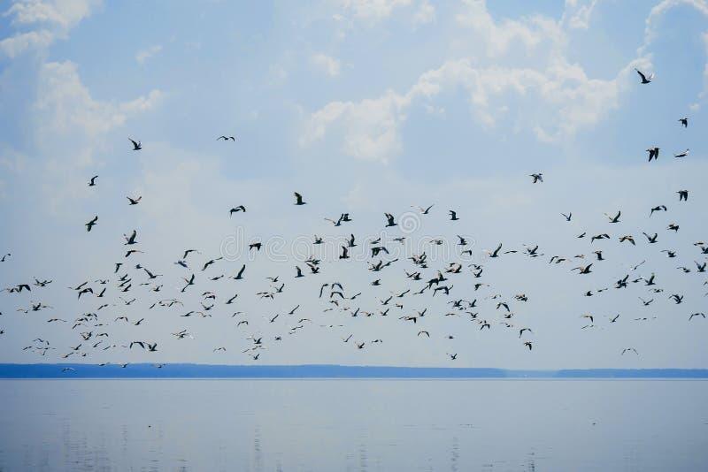 Стадо чайок в небе летая над водой стоковые фото