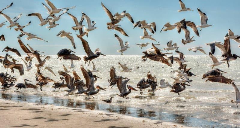 Стадо чайок и пеликаны запускают в воздух и принимают полет с побережья моря Cortez стоковые фото