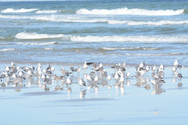 Стадо чайок принимает к воздуху от их приливного бассейна растет по мере того как больше птиц присоединяются к сходу стоковые изображения