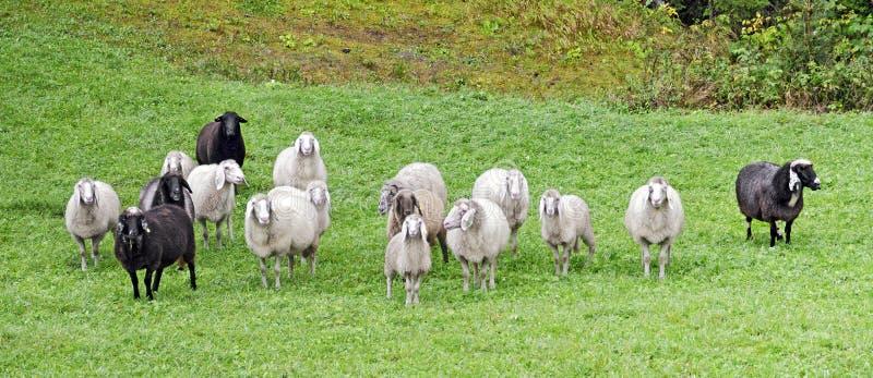 Стадо черно-белых овец стоковая фотография rf