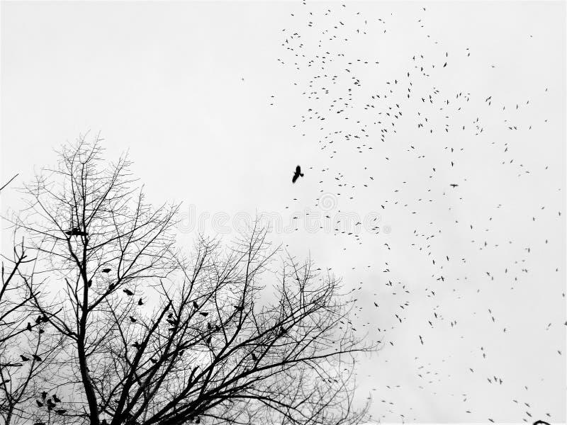 Стадо черных птиц в небе overcast стоковое фото rf
