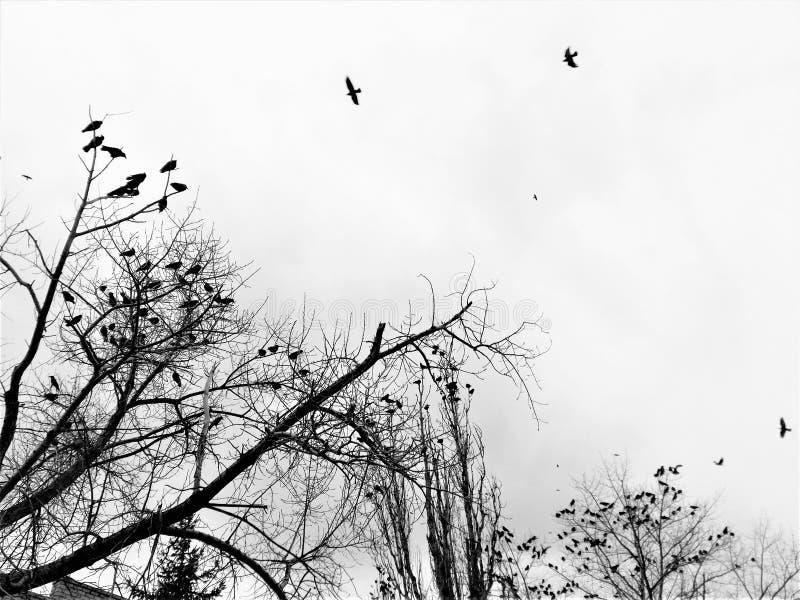 Стадо черных птиц в небе overcast стоковое фото