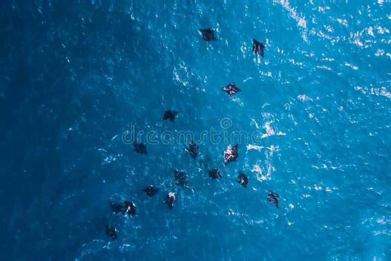 Стадо черных хвостоколовых в море Большие черные лучи в морской воде стоковые изображения rf