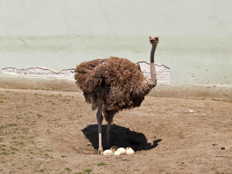 стали страус мамы будет звеец стоковые фотографии rf