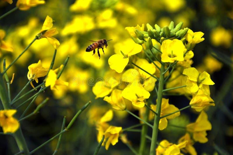Старательно пчелы стоковые фотографии rf