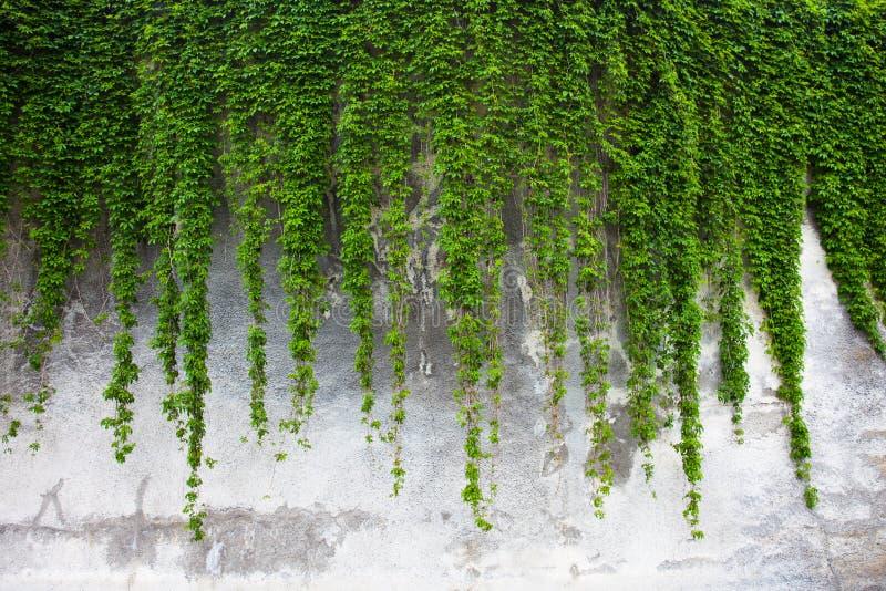 Старая бетонная стена покрытая с зеленым плющом стоковое изображение