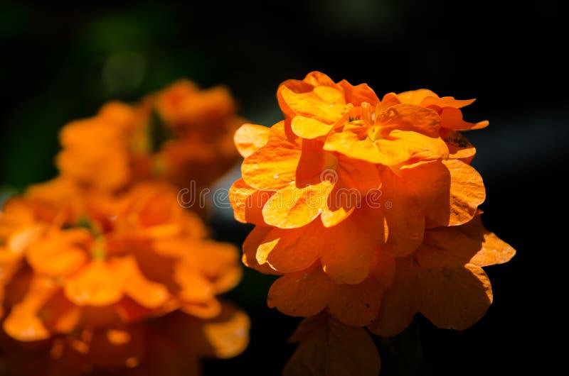 Старая деревенская стена цемента покрашенная с красным цветом Оранжевые лепестки цветка ноготк в лете на ботаническом саде в конц стоковые изображения