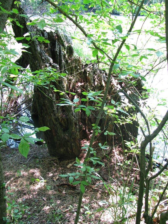 Старая древесина в лесе стоковое фото