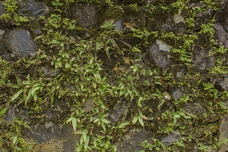 Старая каменная стена с зеленой и сухой растительностью стоковая фотография rf
