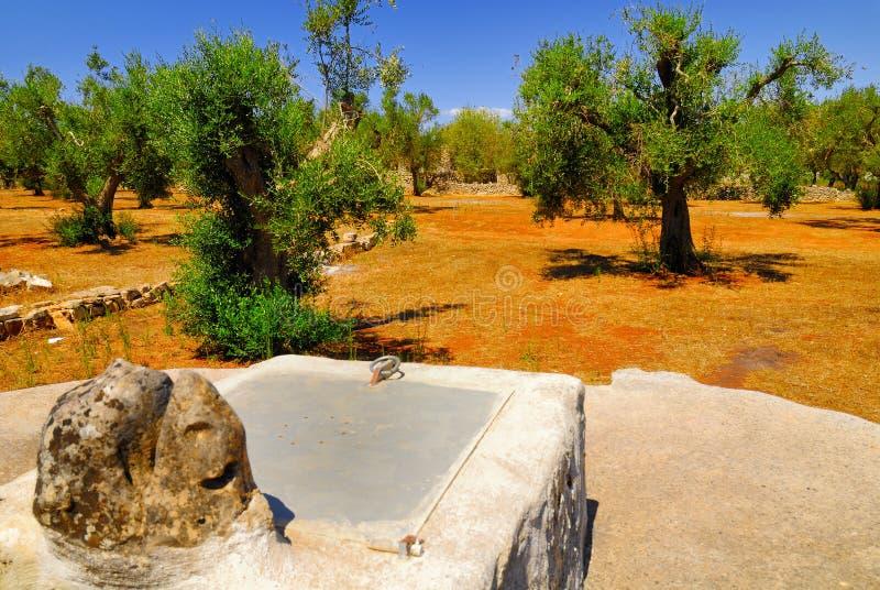 Старая каменная цистерна со старыми оливковыми деревами, Salento, регион Apulia, юг Италия стоковая фотография rf