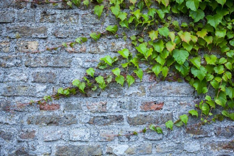 Старая кирпичная стена с зеленым плющом стоковая фотография rf