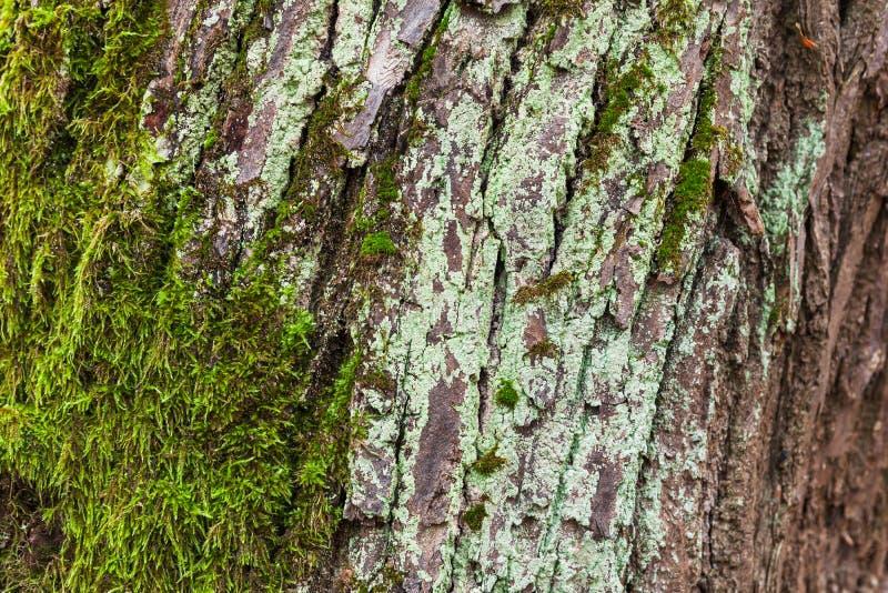 Старая кора дерева с зеленым мхом стоковое фото