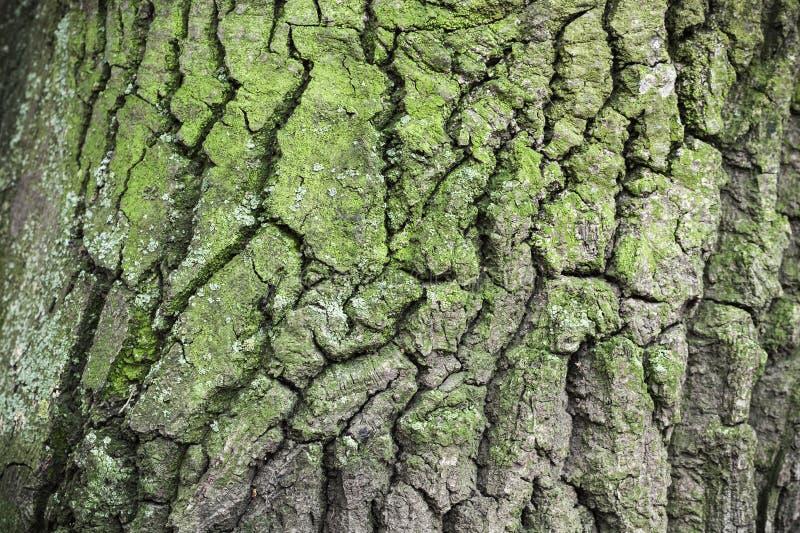 Старая кора дерева с зеленым лишайником стоковые изображения rf
