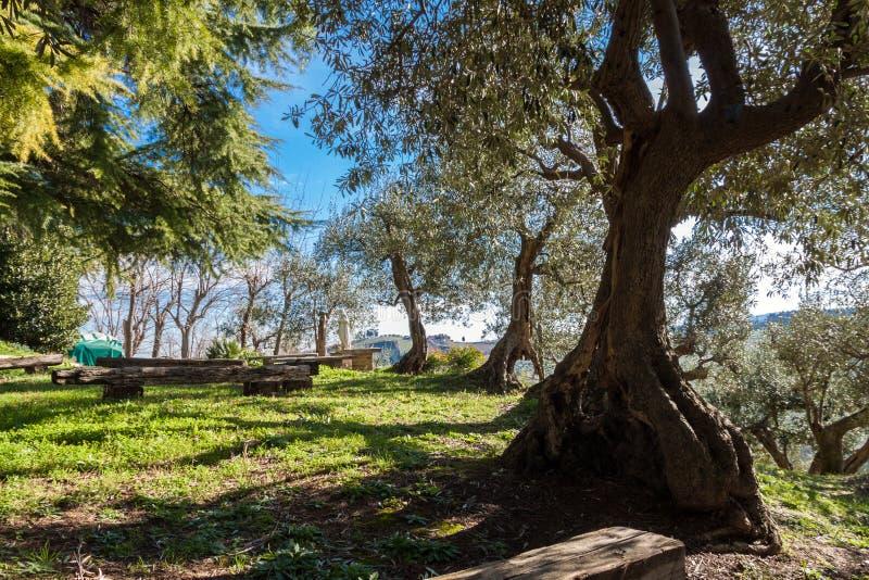 Старая оливковая роща стоковое изображение rf