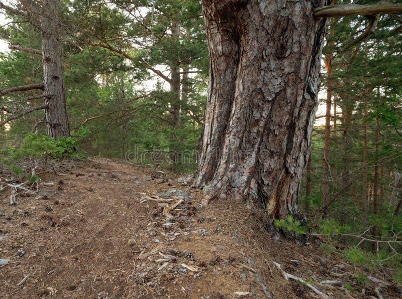 Старая сосна в нетронутом лесе стоковое фото