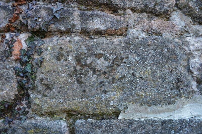 Старая стена песчаника покрытая с плющом стоковые изображения